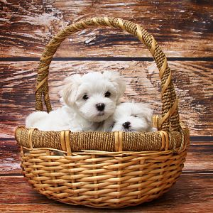 Bring Small Fluffy Puppies Home
