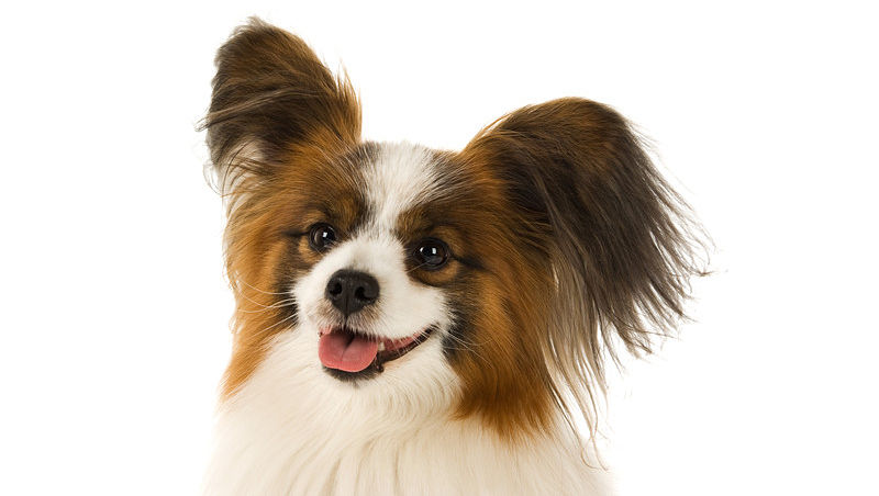 Papillion Small Dog