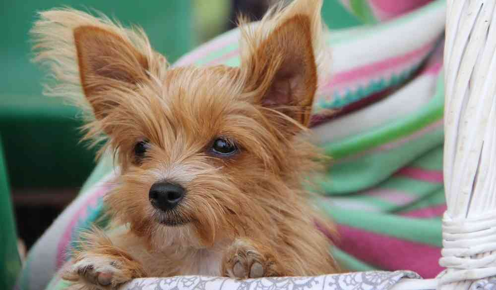 Cool Fluffy Brown Adorable Dog - cute-small-dog-breeds  You Should Have_807359  .jpg