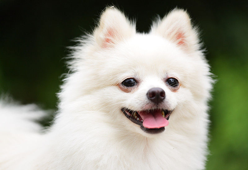 A gorgeous Pomeranian dog