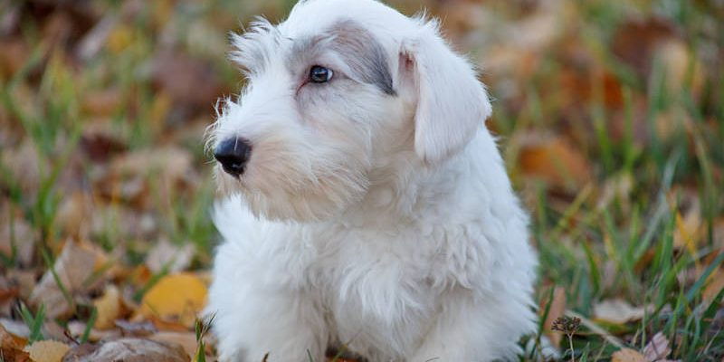 A cute little Sealyham Terrier dog
