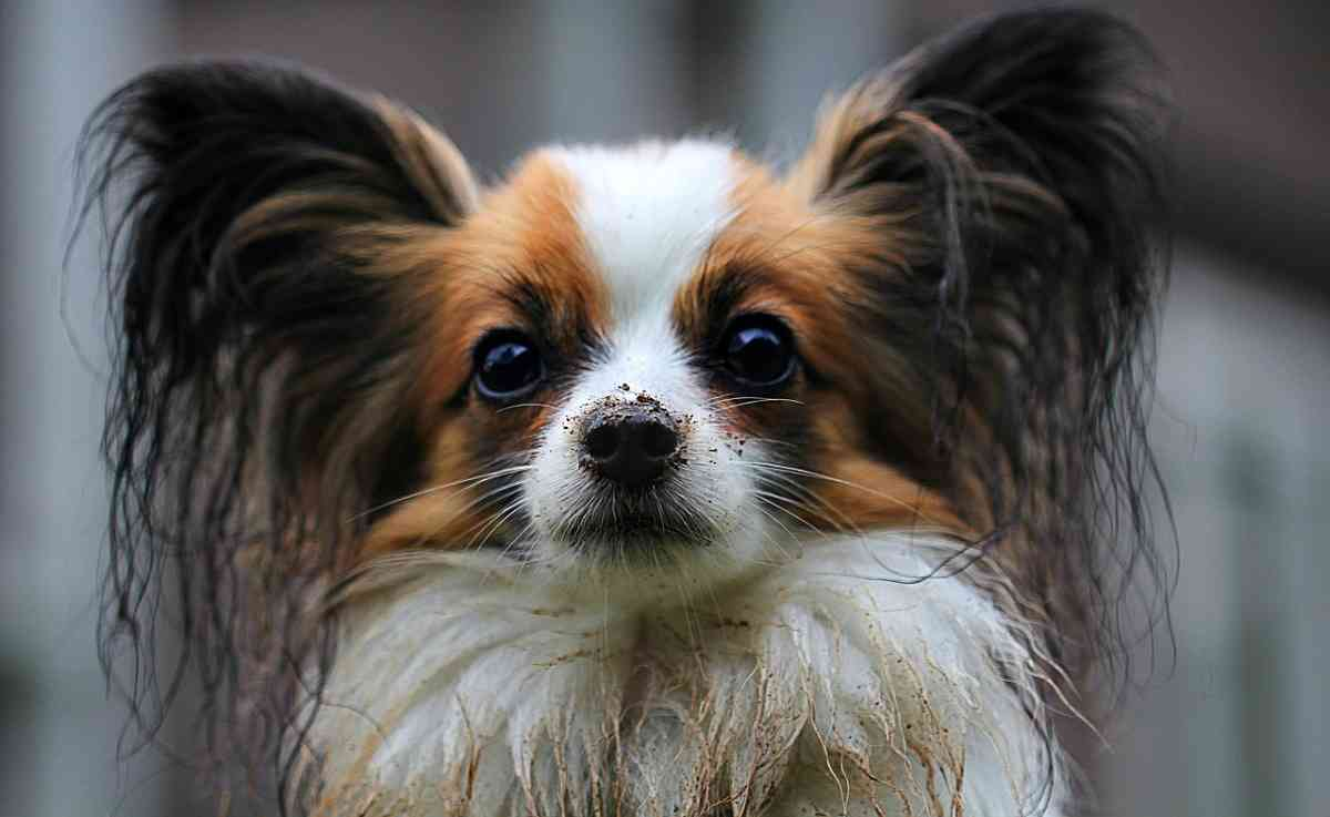 A beautiful picture of a Papillon dog