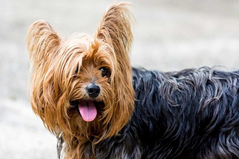 Pictures of Yorkies – why I love the Yorkshire Terrier