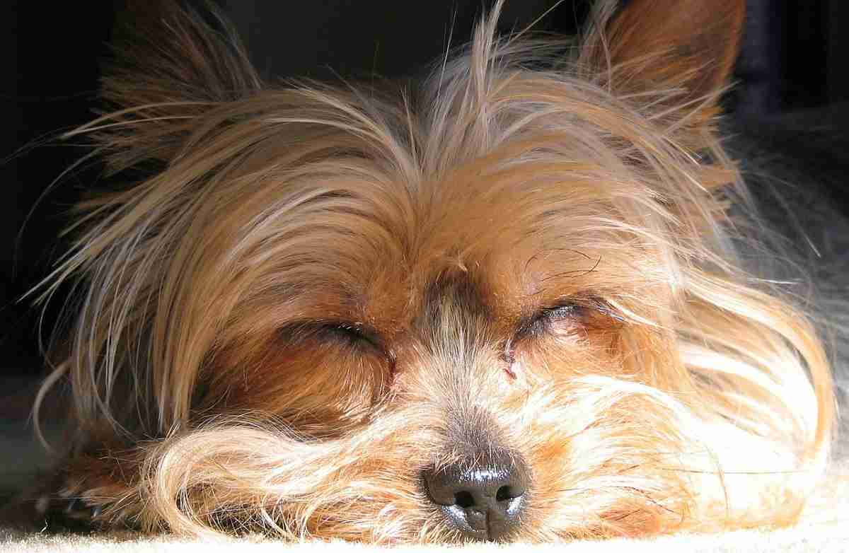 The Yorkshire Terrier Dog All About The Yorkie