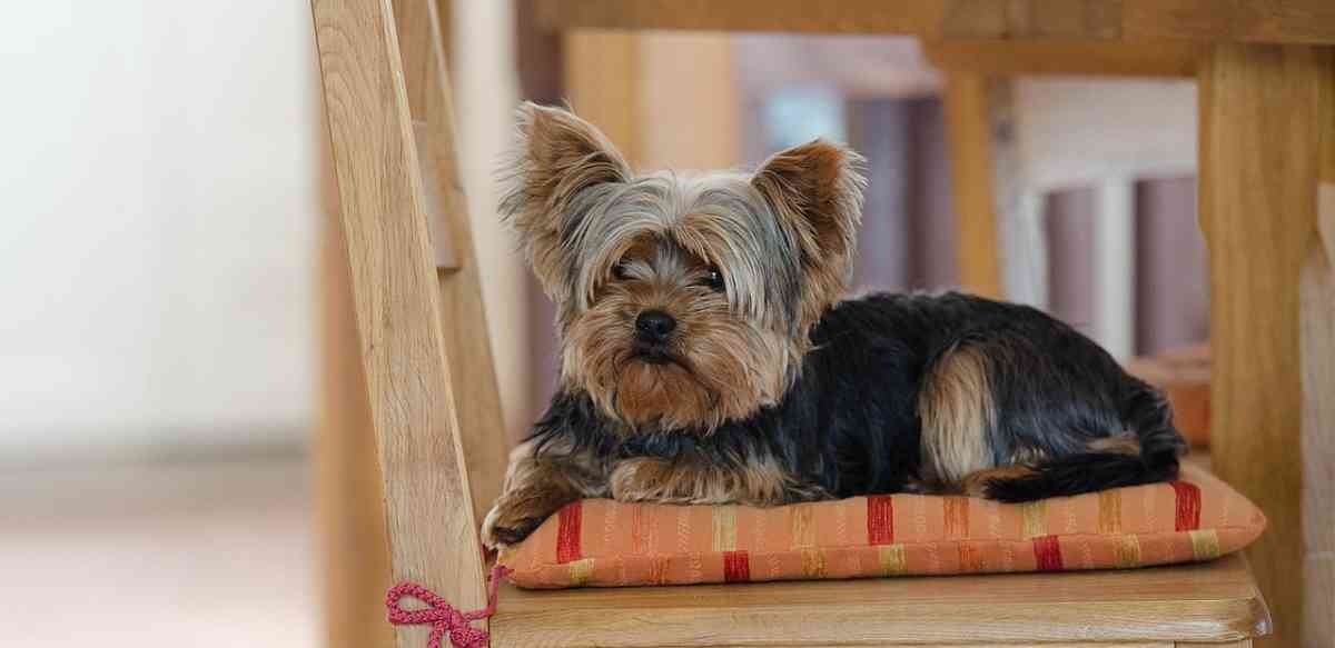 yorkshire terrier characteristics the yorkshire terrier dog all about the yorkie 1861
