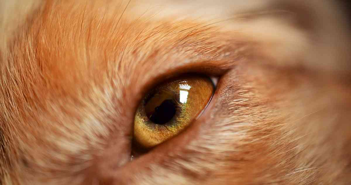 Advice about dog eye infection including how to prevent infections, how they are treated and the causes of them.