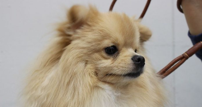 The Pomeranian Dog Breed