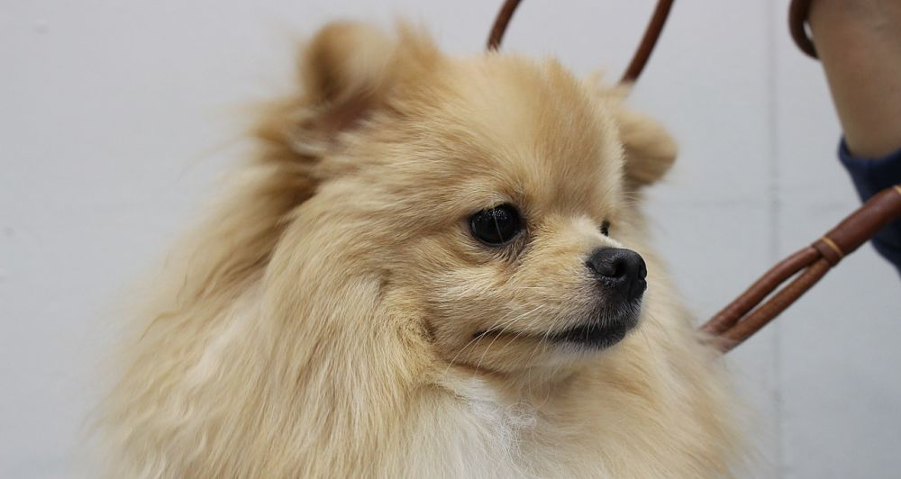 Picture of a beautiful Pomeranian dog