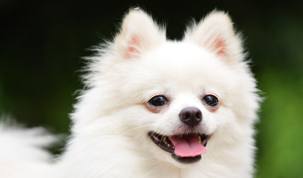 Pomeranian Shedding Small Fluffy Dog Breeds
