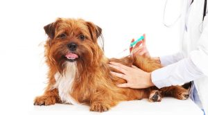 Cortisone Shots For Dogs
