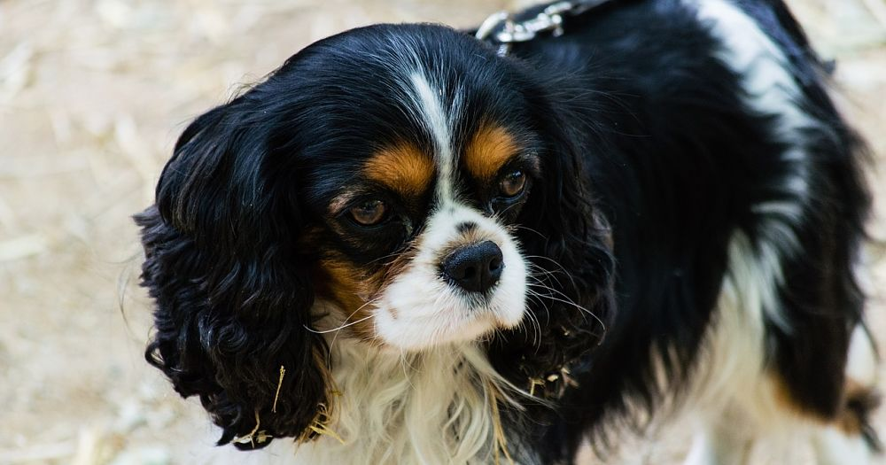 A beautiful Cavalier King Charles Spaniel dog.