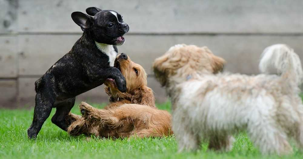 A good understanding of dog behavior will help you to understand why your dog does what he does.