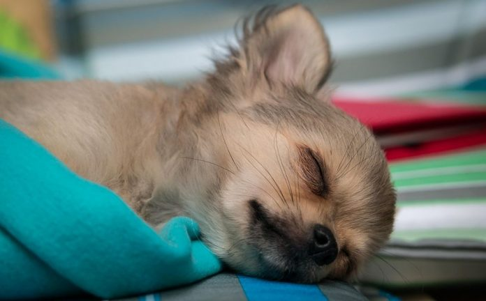 Dog Snoring - Why Do Dogs Snore?