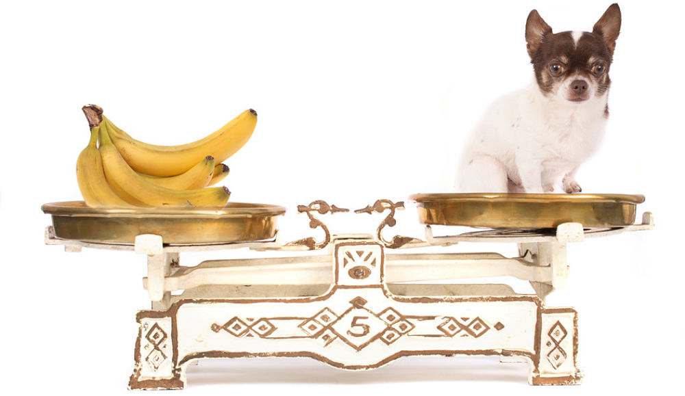 Bananas are a healthy option for us humans, but can dogs eat bananas and banana peel and are they good for them?