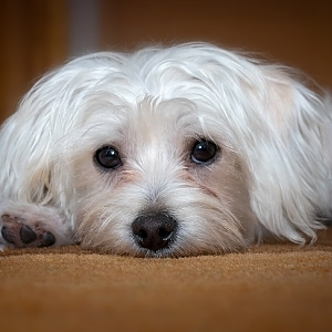 Small Fluffy Dog Breeds | All About Cute Small Dogs