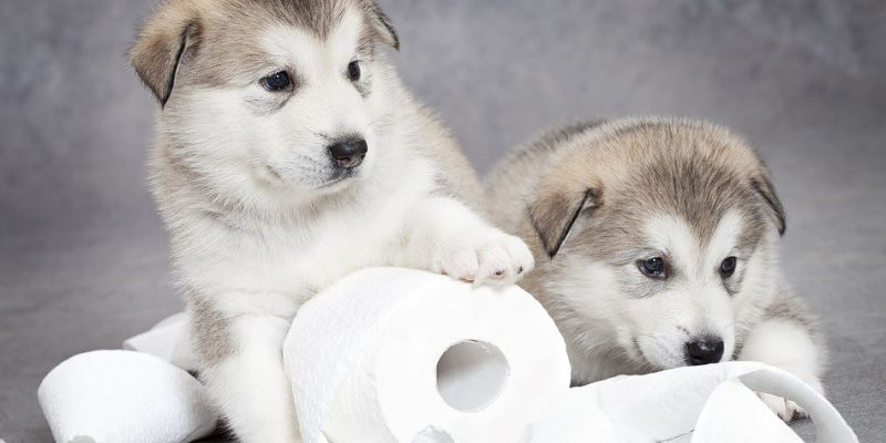 Toilet training a puppy