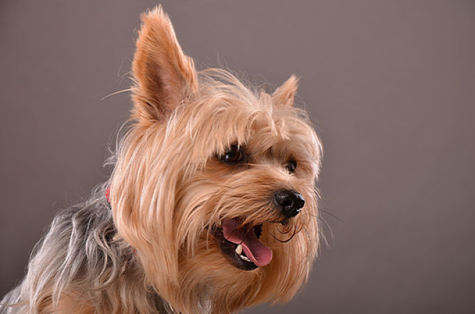 Beautiful Yorkie Dog Portrait