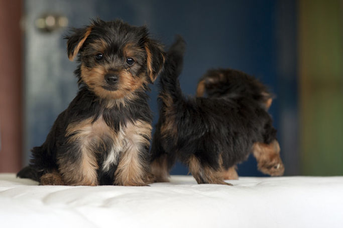 Picture Of Two Cute Yorkie Puppies