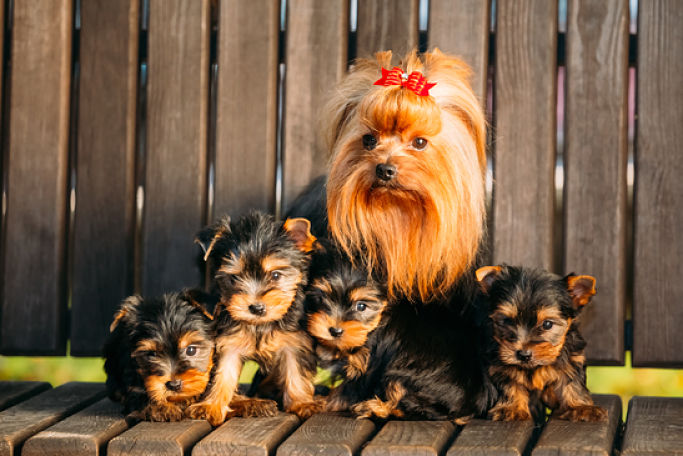 Picture Of Yorkie Mum With Puppies