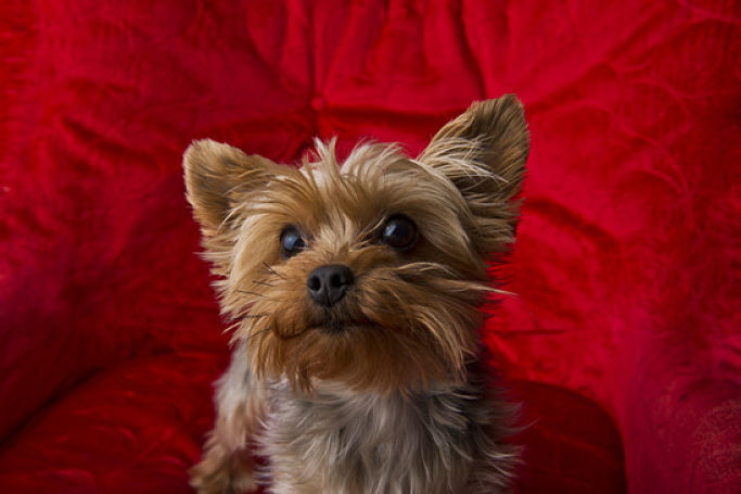 Picture Of A Cute Yorkie