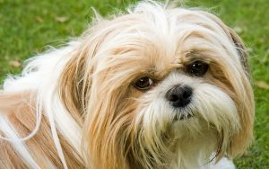 Shih Tzu shedding - do Shih Tzu shed?