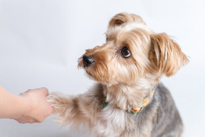 Picture Of Yorkshire Terrier Giving Paw
