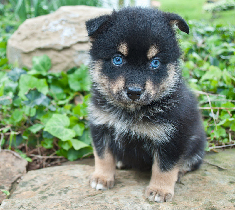 Cute Pom Husky Mix Puppy