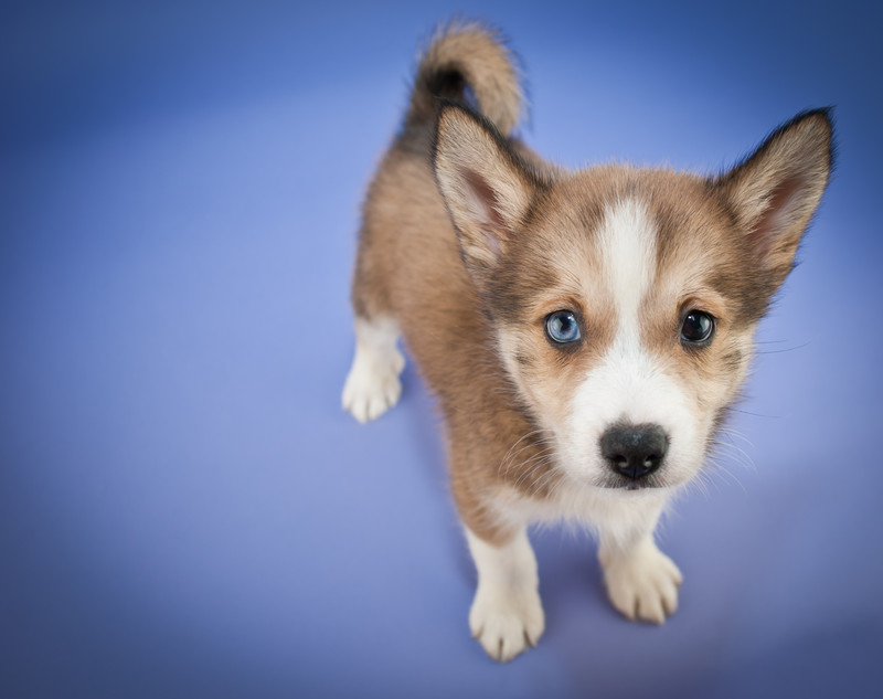 One of the most adorable mix breeds right now, Pomsky dogs are a Pomeranian Husky mix and they're cute as can be!