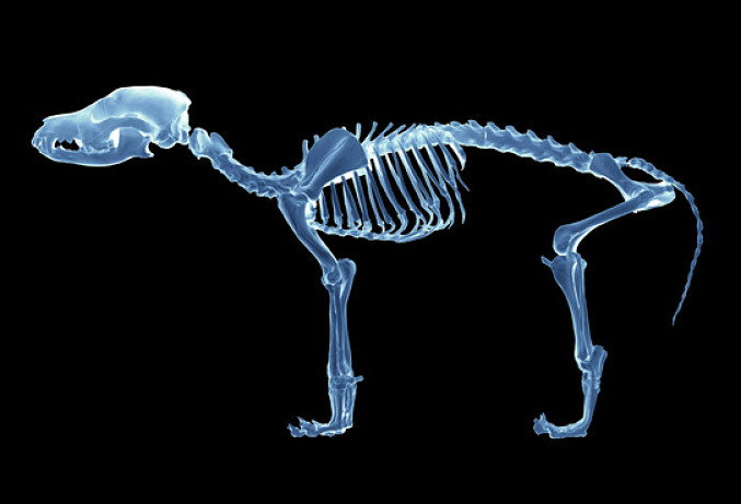 Dog anatomy is almost identical in wolves and domestic dogs. Learn all about what's involved in your dog's anatomy.