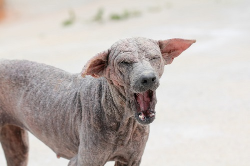Image of a dog suffering from sarcoptic mange