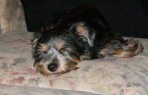 The Snorkie Dog - Miniature Schnauzer Yorkie Mix