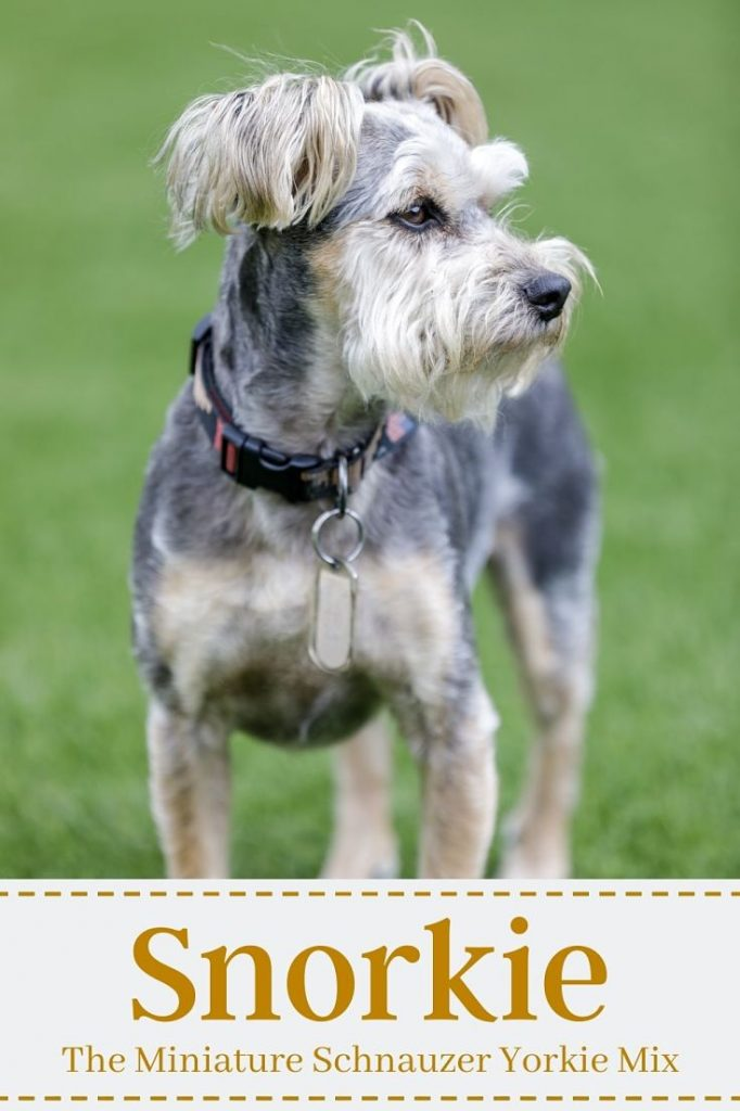 Featured image for a page about the Snorkie mixed breed dog.