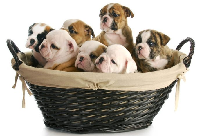 Dog Pregnancy Symptoms And Stages