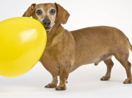 Choosing Toys For Small Dogs