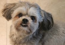Interesting And Fun Shih Tzu Facts