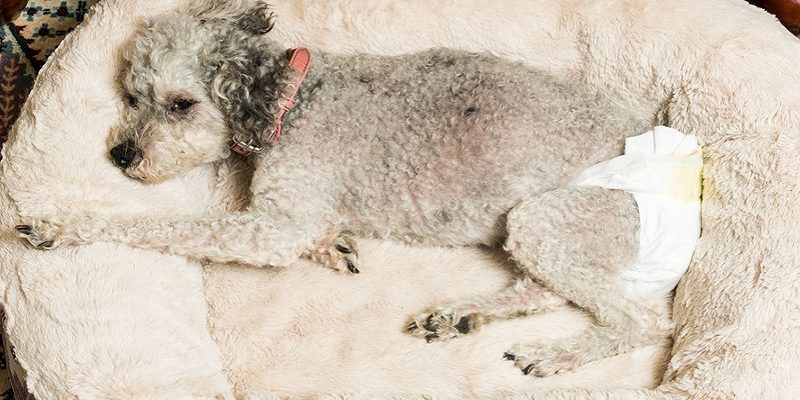 Older dogs with health problems in a diaper