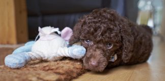 Learn how to help your dog overcome hand shyness.