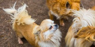 A look at 6 popular toy dog breeds that make great pets
