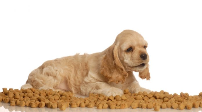 American cocker spaniel surrounded by the best dry dog food
