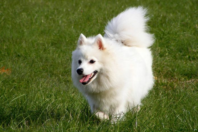 A beautiful example of the Japanese Spitz dog breed