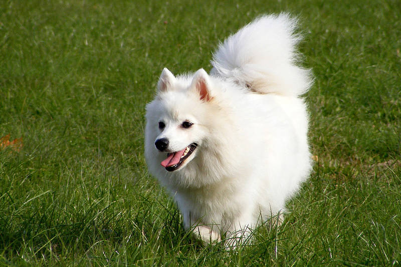 Small Fluffy Japanese Dogs