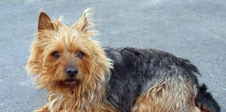 A really cute example of the Australian Terrier dog breed