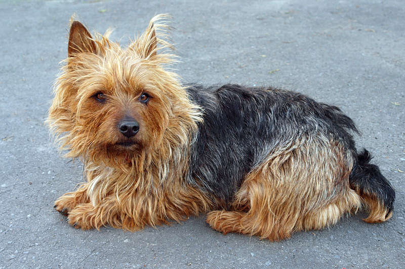 A really cute example of the Australian Terrier dog breed.