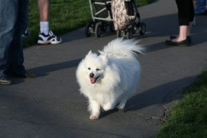 A beautiful American Eskimo dog