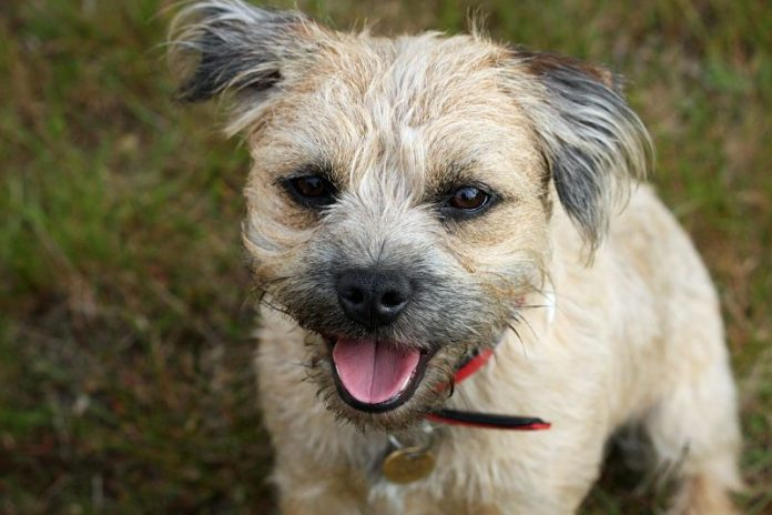 A beautiful, cute image of a Border Terrier dog