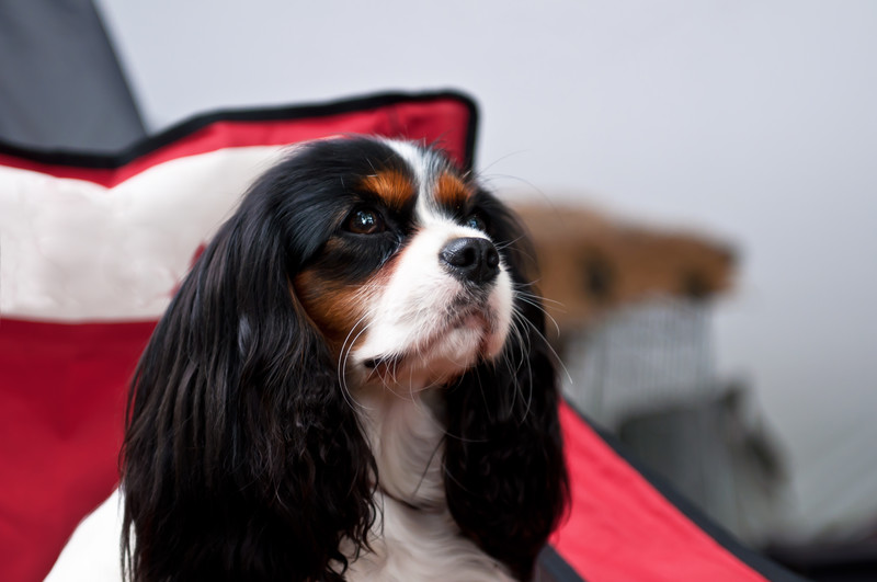 Image of a beautiful example of the English Toy spaniel dog breed, also known as the King Charles Spaniel