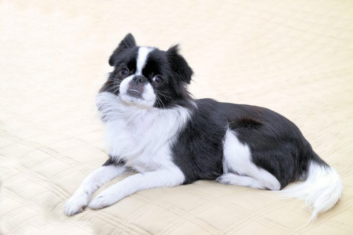 A beautiful example of the Japanese Chin dog breed