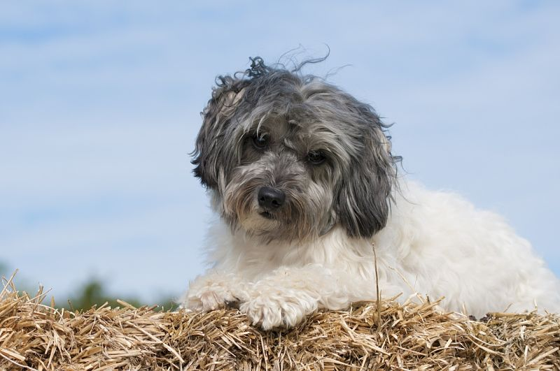 Beautiful picture of a Lowchen dog