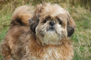 A gorgeous picture of a brown and white Shih Tzu dog