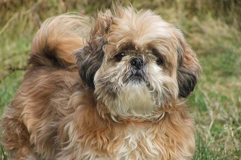 The Shih Tzu Small Fluffy Dog Breeds
